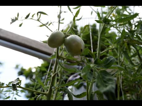 Tomatoes are among Bascoe's crops.